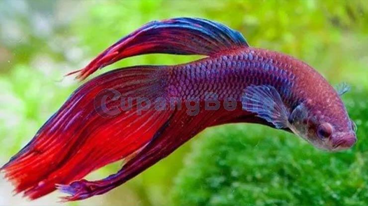 Amati Perkembangan Ikan Cupang