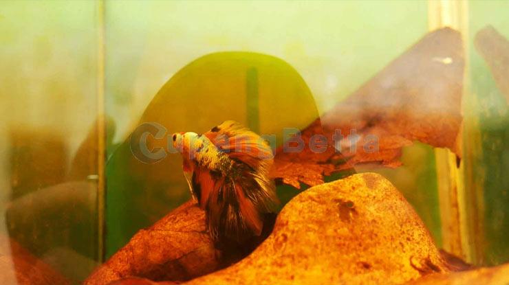 Berikan Olahan Daun Ketapang Pada Ikan Cupang