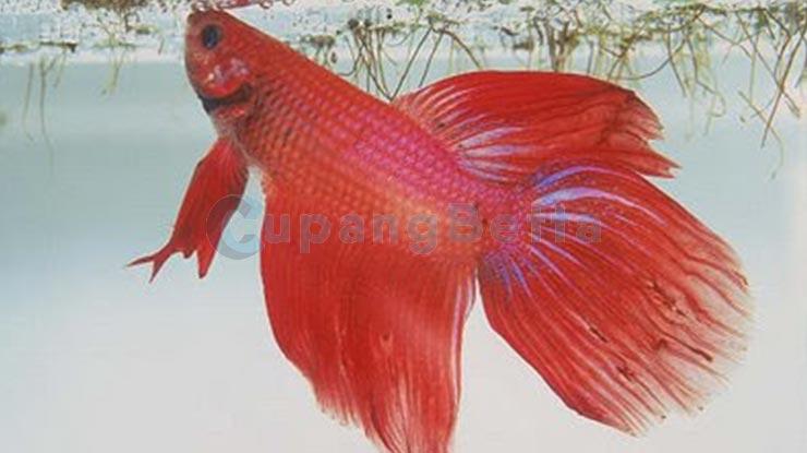 Cara Membuat Ikan Cupang Cepat Besar Tumbuh Sehat