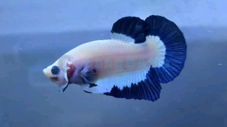 Cara Mempercepat Mutasi Warna Ikan Cupang
