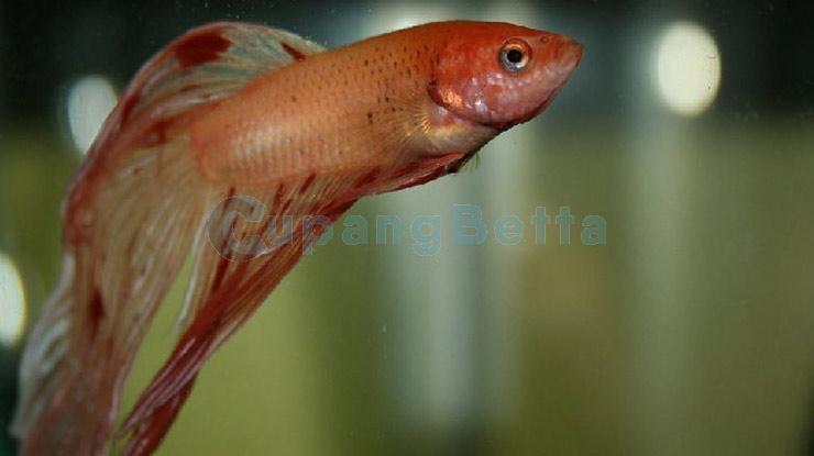 Cara Mengatasi Ikan Cupang Kuncup
