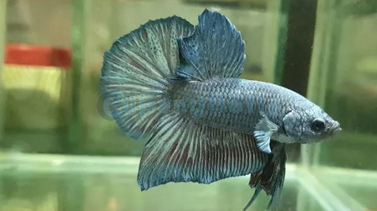 Ikan Cupang HMPK
