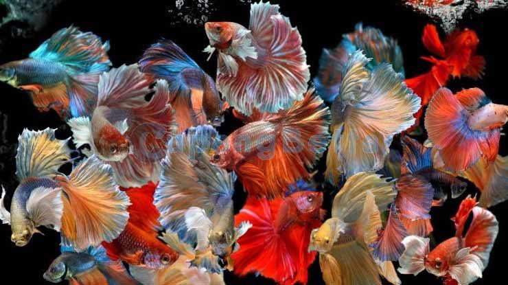 Jenis Ikan Cupang yang Banyak Diternak