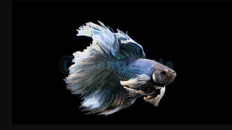 Kesehatan Ikan Cupang