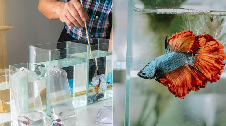 Langkah Mudah Membuat Ikan Cupang Cepat Besar