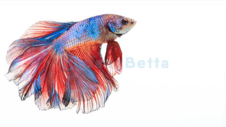 Manfaat Kayu Secang Ikan Cupang