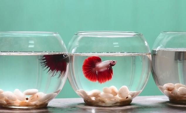 Masukan ikan ke dalam wadah