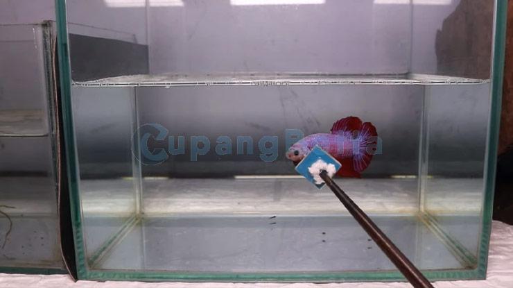 Cara Melatih Ikan Cupang Aduan  dengan Simulasi Bertarung