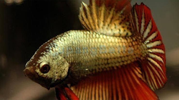 Mempercantik Warna Ikan Cupang