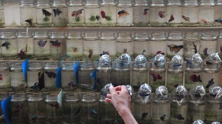 Pemisahan Ikan Cupang