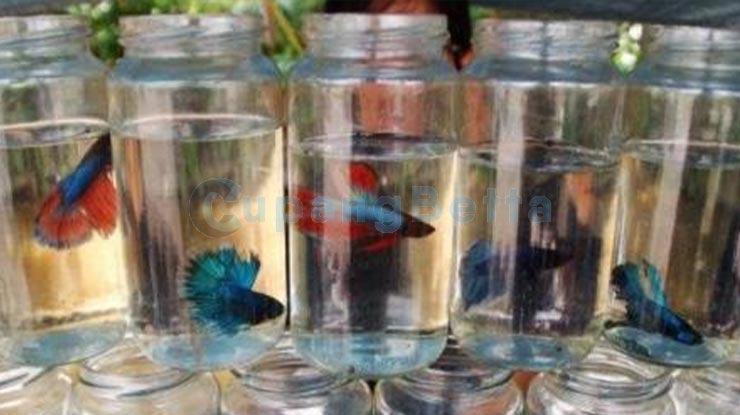 Penjemuran Ikan Cupang