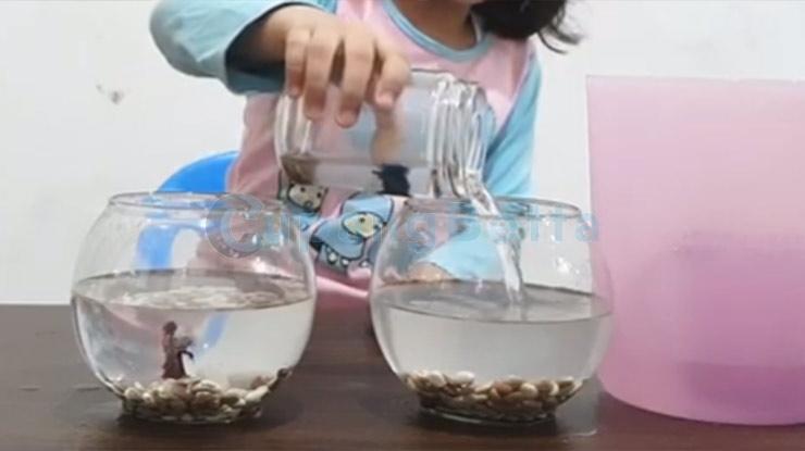 Pindahkan Ikan Cupang Ke Akuarium