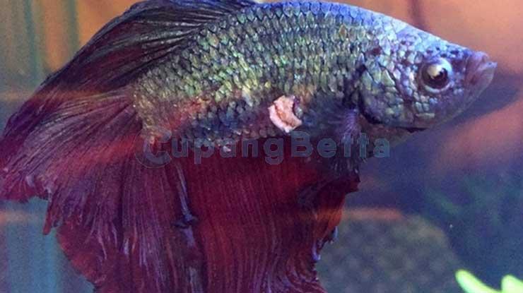 Sisik Nanas Ikan Cupang Cara Mengobatinya