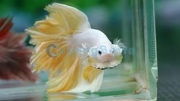 Agresi Ikan Cupang