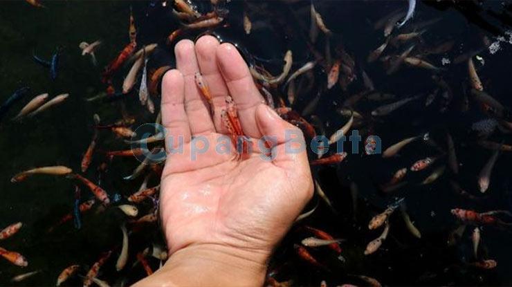 Cara Membedakan Ikan Cupang Jantan dan Betina 1
