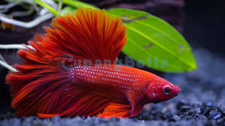Umur Ikan Cupang  dari Ciri Fisik