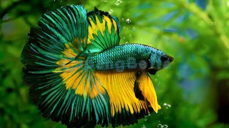 Cara Merawat Ikan Cupang Supaya Warnanya Lebih Bagus