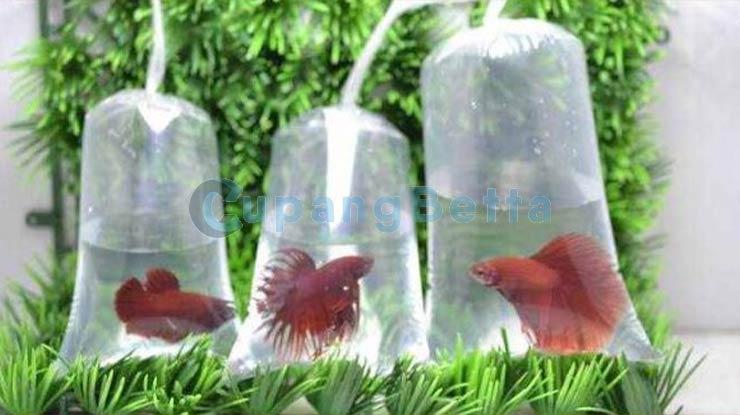 Cara Packing Ikan Cupang 2