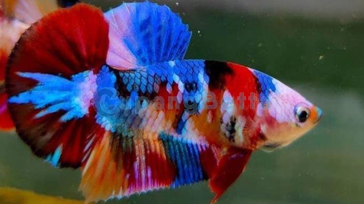 Cara Ternak Ikan Cupang Jenis Koi
