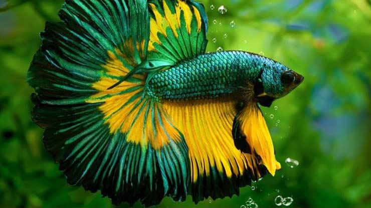 Ciri Ciri Ikan Cupang Sehat dan Lincah Sudah Siap Kawin