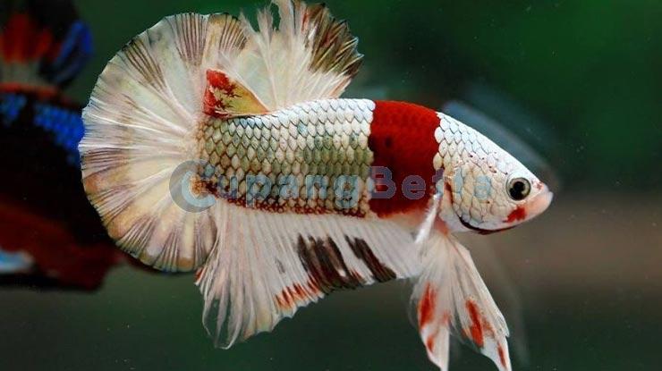 Istilah Dunia Ikan Cupang Hias