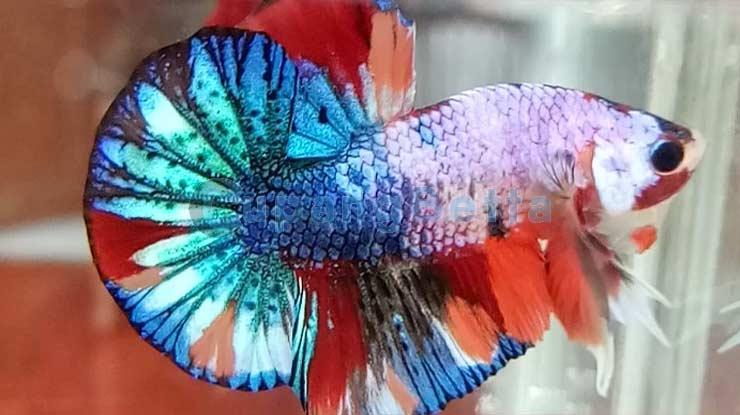 Warna Ikan Cupag