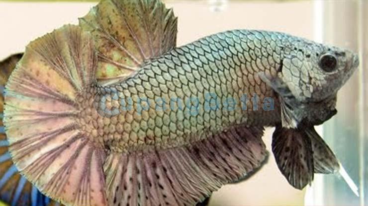 Cara Membedakan Ikan Cupang Jantan dan Betina dari Karakter