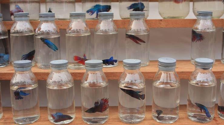 Kelebihan Toples Plastik Untuk Ikan Cupang