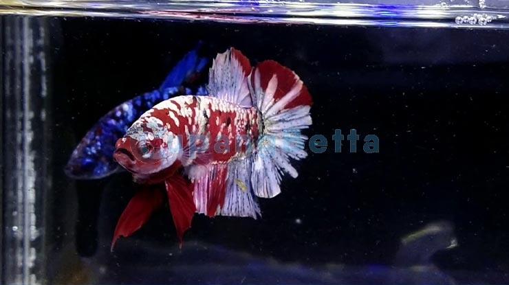 Jenis Ikan Cupang Koi Copper