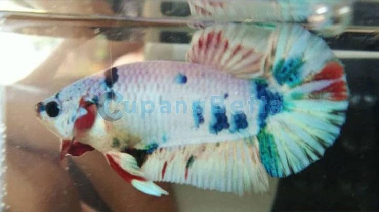 Jenis Ikan Cupang Koi Marble
