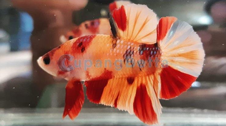 Koi Nemo