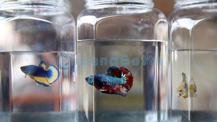 Cara Merawat Masukan Ikan Cupang   agar Warnanya Semakin bagus