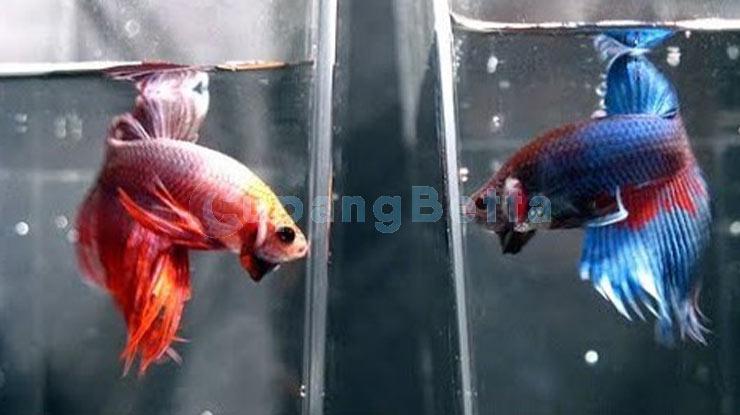 Cara Grooming Ikan Cuopang untuk Melatih Mental Supaya Lebih Bagus