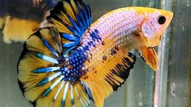 Cara Grooming Ikan Cupang untuk Mempercepat Mutasi Warna