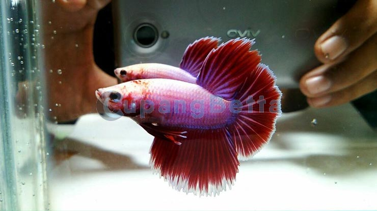Umur Ikan Cupang dari Ukuran Tubuh