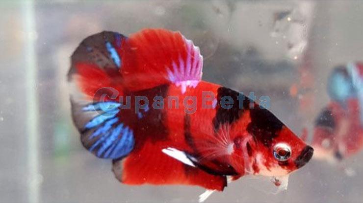 Jenis Ikan Cupang Red Koi