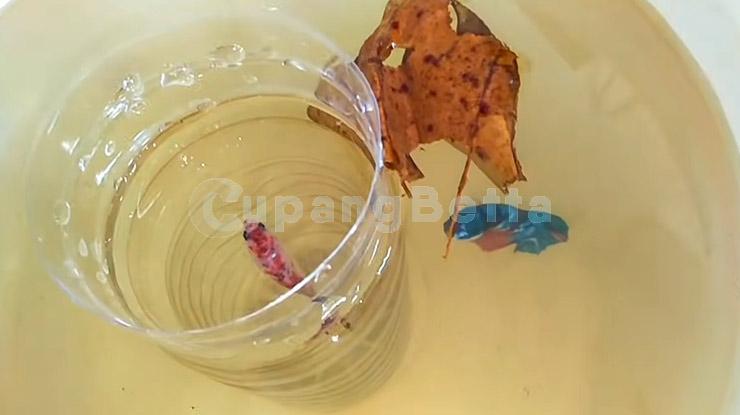 Tujuan Grooming Ikan Cupang
