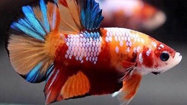 Ukuran Tubuh Ikan Cupang