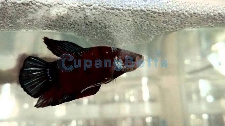 Angkat Ikan Cupang Jantan