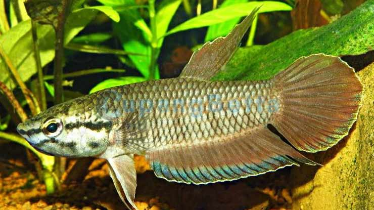 Cara Merawat Ikan Cupang dari Habitat Asli