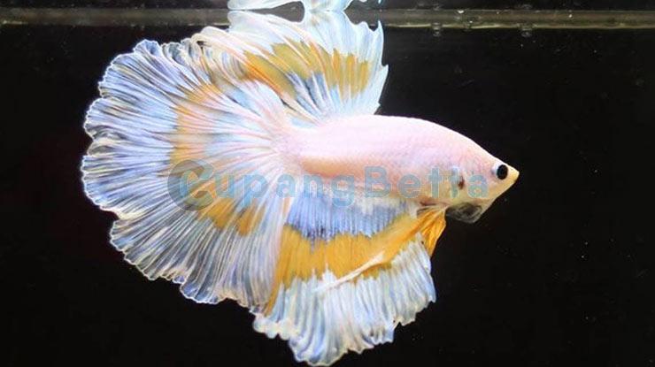 Harga Ikan Cupang Termahal Berdasarkan Jenis