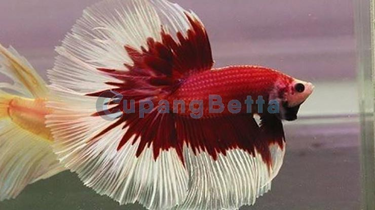 Ikan Cupang Halfmoon