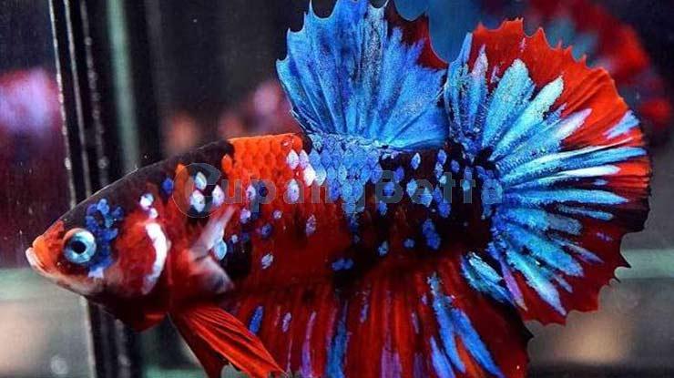 Ikan Cupang Koi Galaxy