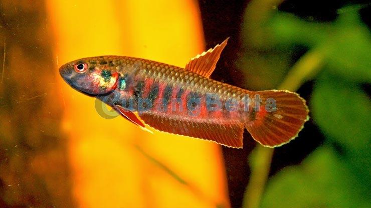Makanan Ikan Cupang Habitat Asli