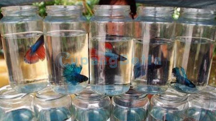 Memisahkan Ikan Cupang