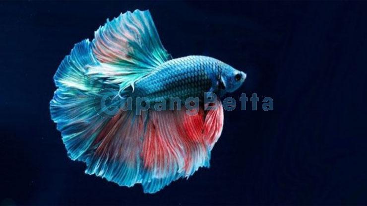 Pelet Ikan Cupang agar Cepat Besar