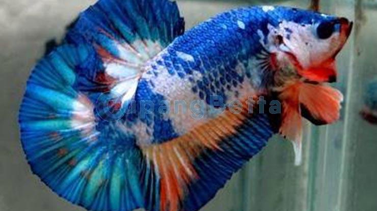 Tabel Harga Ikan Cupang Termahal