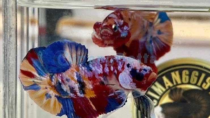 Umur Ikan Cupang Berdasarkan Warna Tubuhnya 1