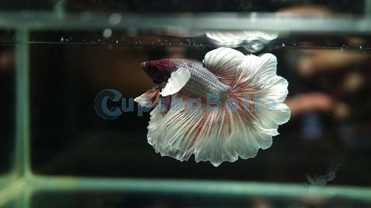 Umur Ikan Cupang dari Ukuran Tubuhnya