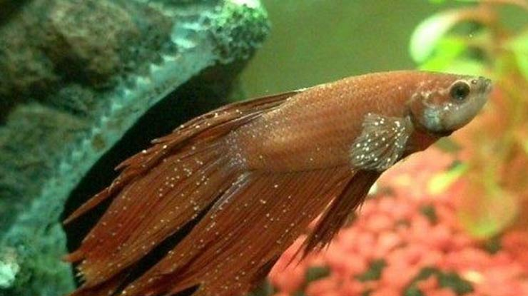 Apa Itu White Spot Ikan Cupang